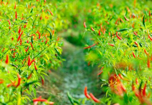 Формирование перца чили. Выращивание перца чили в огороде