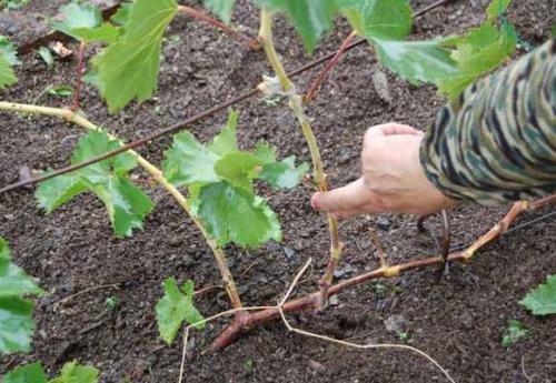 Как укрыть виноград на зиму в поволжье. Подготовка к укрытию