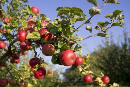 На, каком расстоянии друг от друга садить яблони. Основная схема посадки яблонь