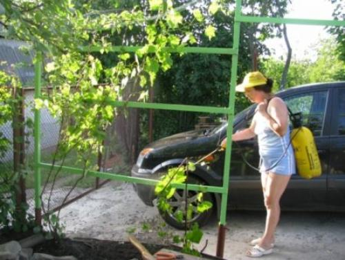 Опрыскивание винограда железным купоросом осенью. Условия и сроки обработки