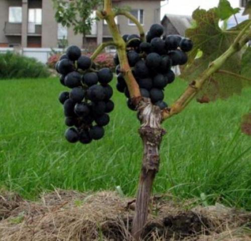 Как привить виноград осенью. Что такое прививка идля чего она нужна винограду