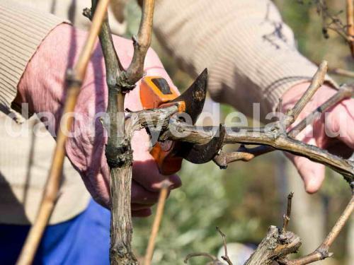 Когда обрезать виноград на зиму на урале