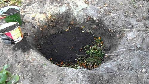 Как правильно посадить грушу осенью. Технология посадки