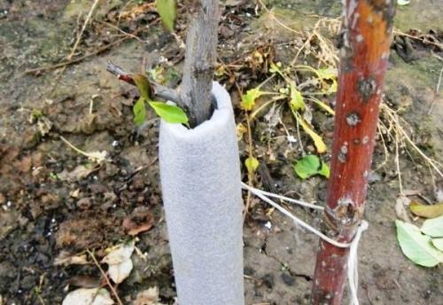 Как утеплить на зиму грушу чижевского. Как утеплить грушу на зиму и уберечь дерево от морозобоин