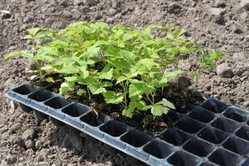 Как вырастить малину из семян?