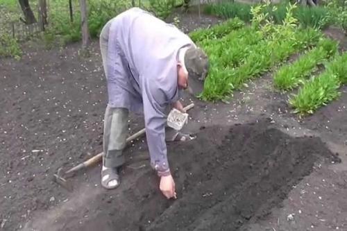Яровой чеснок урожайность. Как сажать яровой чеснок?