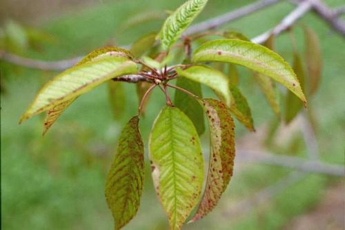 Почему гниет черешня на дереве. Описание болезней черешни
