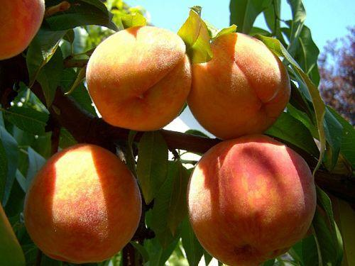 Когда открывать персик весной. Обрезка персиков весной и летом, опрыскивание от болезней