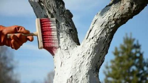 Работы осенние с яблонями. Как укрыть яблоню на зиму