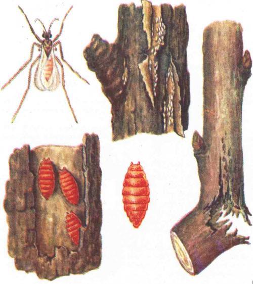 Борьба с галлицей на малине. В борьбе за «малиновый» урожай