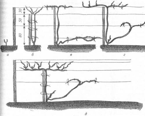 Формирование куста винограда первые три года. Основные виды формирования куста