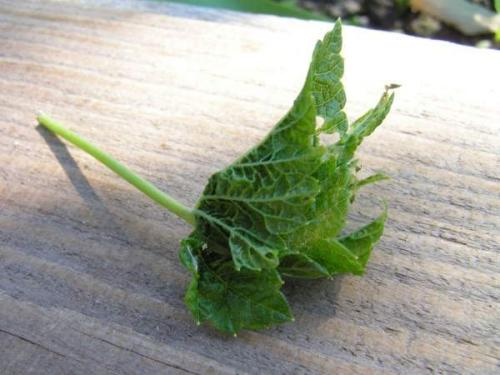 Скручиваются листья у черной смородины, что делать. Что делать, если листья смородины уже скрутились