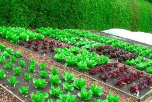 Что хорошо растет в тени на огороде. Теневыносливые овощи для огорода