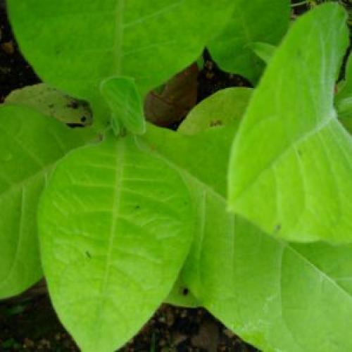 Как вырастить махорку для курения на огороде. Плюсы и минусы выращивания табака на огороде для курения