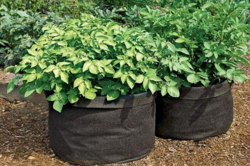 Выращивание картофеля в бочке технология. Пошаговая технология выращивания