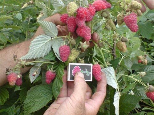 В Сибири ремонтантная малина. Крупноплодная малина для Сибири