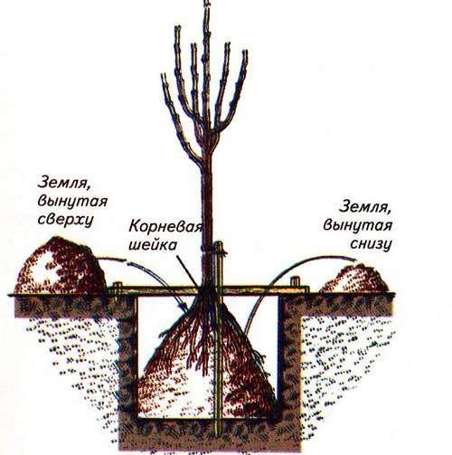 Как подготовить яму для посадки яблони. Встреча в саду – производим высадку