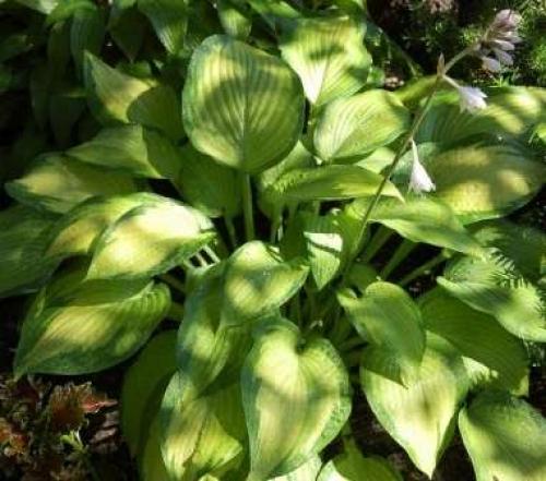 Что в огороде можно посадить в тени. Декоративные растения для тени