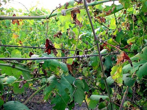 Оідіум винограду лікування. Защита винограда от оидиума