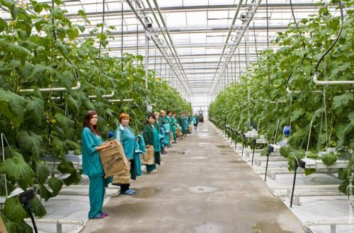 Выращивание огурцов в теплице, как бизнес. Выращивание огурцов, как бизнес: выгодно ли, отзывы