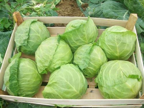 Надо ли поливать капусту в сентябре. Последний аккорд: как ухаживать за капустой в сентябре для богатого урожая