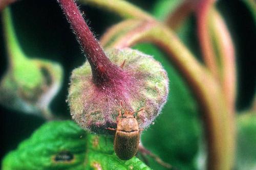 Борьба с вредителями малины. Вредители малины