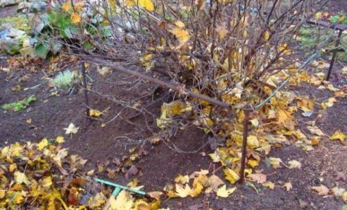 Смородина уход в сентябре. Уход за черной смородиной осенью