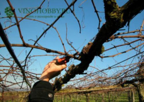 Формирование урожая винограда. Когда проводить формировку лозы