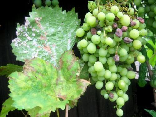 Оидиум винограда меры борьбы. Признаки заражения винограда