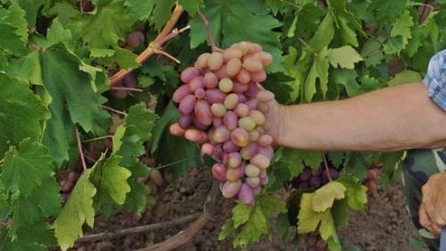 Виноград не успел созреть, что делать. Как ускорить созревание винограда осенью: простые и эффективные способы