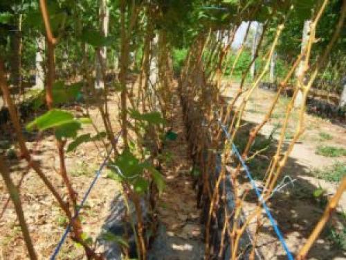 Если не вызрела лоза, что делать. Как определить степень вызревания лозы винограда? +ВИДЕО