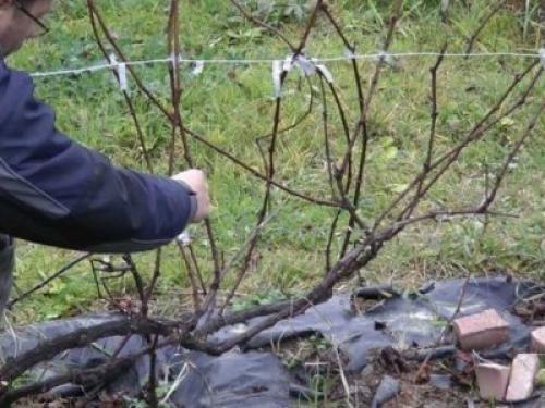 Виноград 2 год. Формирование куста винограда