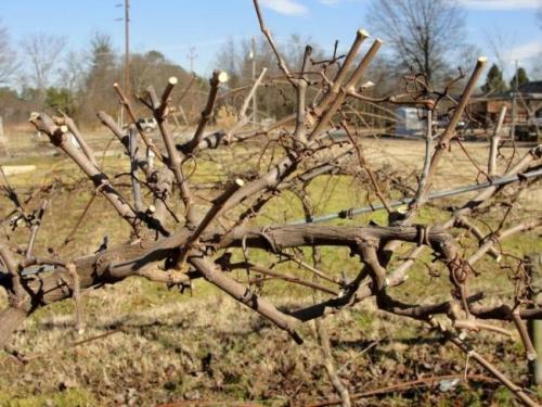 Обрезка молодого винограда осенью. Самые оптимальные сроки обрезки винограда