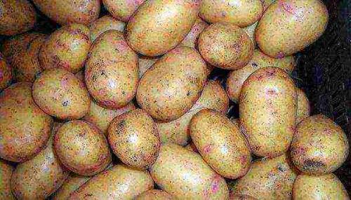 Сорта картофеля для хранения на зиму, как выбрать. Отзывы о сортах картофеля