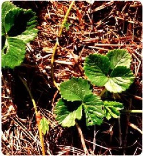Можно ли клубнику мульчировать сосновыми иголками. Допустимо ли мульчировать клубнику сосновой хвоей если кислый грунт?