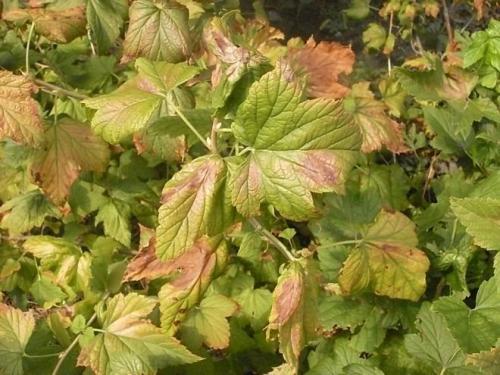 Листья смородины желтеют и сохнут, что делать. Почему желтеют и сохнут листья на смородине? Как защитить растения!?