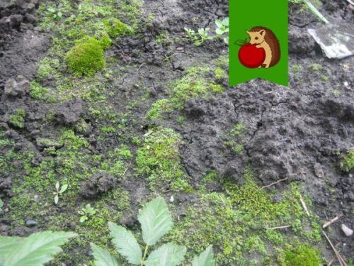 Земля на грядках зеленеет, что делать. Почему почва покрывается мхом и что с этим делать
