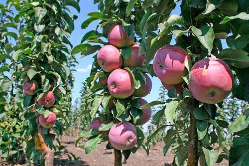 Как укрыть колоновидные яблони на зиму