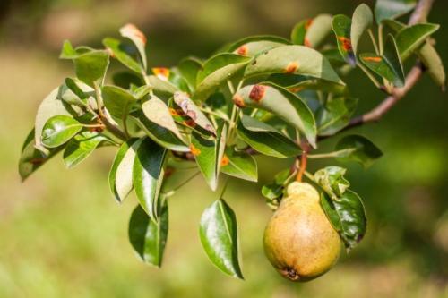 На листьях груши ржавчина. Симптомы ржавчины