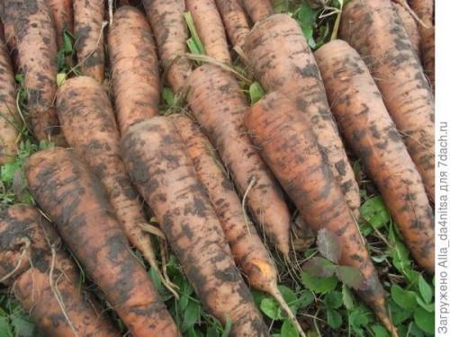 Приспособление для посадки моркови. Чтобы морковка ровной была