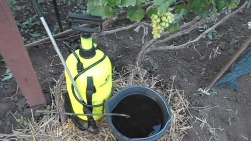 Виноград не цветет. Основные причины отсутствия ягод