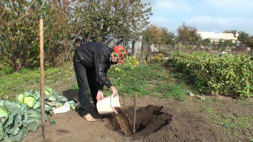 Сроки посадки груши осенью. Лучшее время посадки