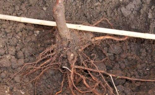 Посадка яблони осенью с открытой корневой системой. Процесс посадки яблони осенью