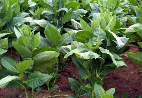 Табак, как выращивать и сушить. Сорта