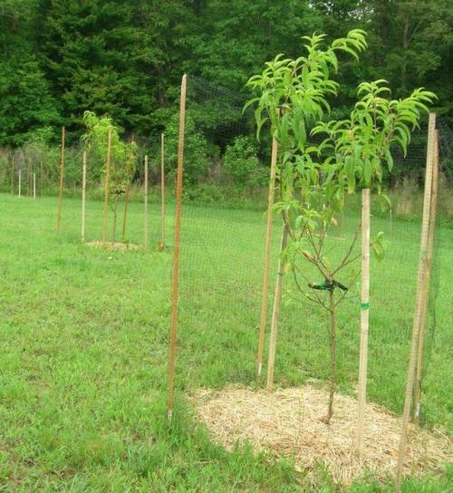 Как посадить персиковое дерево. Посадка саженцев персика по регионам