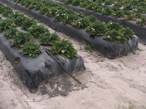 Садим клубнику под агроволокном. Клубника на агроволокне: посадка и уход