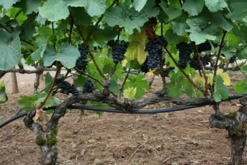 Как обрезать изабеллу осенью. Правила обрезки винограда