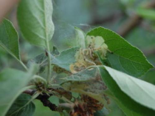 Гусеница паутина