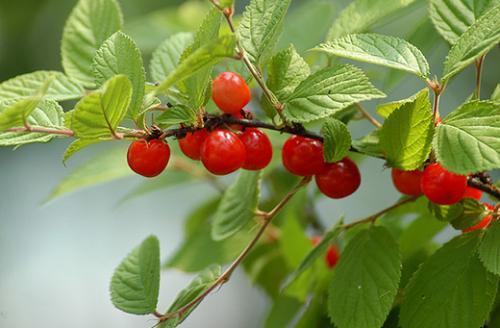 Почему не плодоносит войлочная вишня.