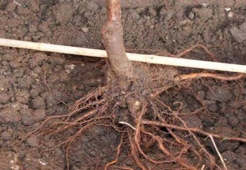 Как посадить персик саженец осенью. Почему осенняя высадка персика лучше